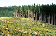 Pine forest New Zealand
